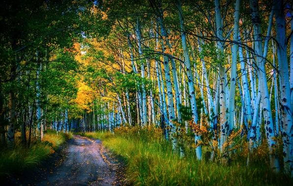 Picture road, autumn, birch, grove