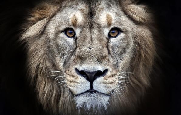 Picture eyes, fur, leon
