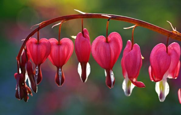 Picture flower, flowers, background, pink, widescreen, Wallpaper, blur, wallpaper, flowers, widescreen, flowers, background, broken heart, full …