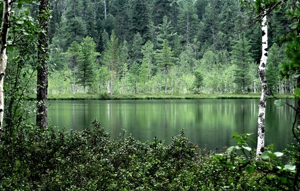 Picture forest, summer, water, trees, nature, reflection, birch