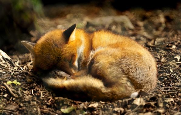 Picture nature, animal, earth, dream, foliage, sleep, predator, Fox, sleeping, tail, fur, ears, fox, nature, up, …