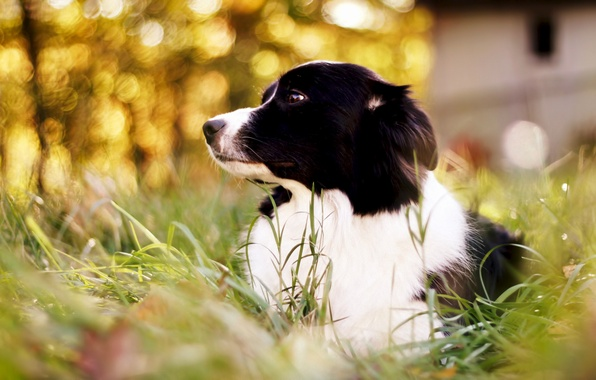 Picture grass, dog, bokeh, Border Collie, border collie