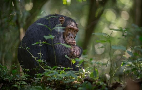 Picture trees, foliage, jungle, monkey, Africa, bokeh, chimpanzees, southern Uganda, Kibale national Park