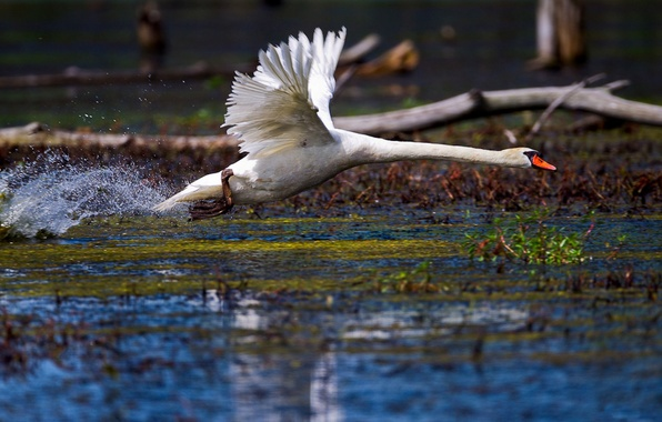 Picture WATER, WHITE, WINGS, DROPS, The RISE, SQUIRT, BIRD, POND, FEATHERS, POND, LAKE, SWAN, NECK, ACCELERATION