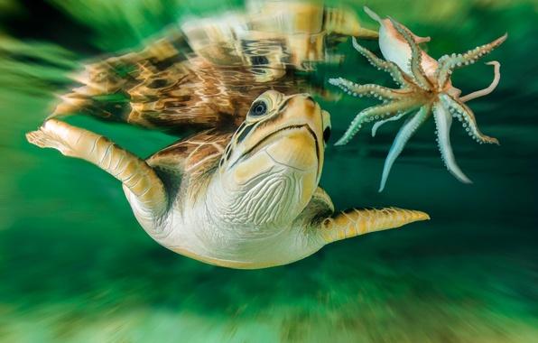 Picture turtle, Australia, underwater world