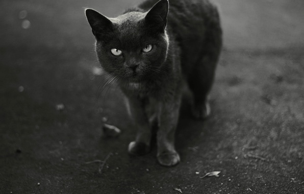Photo wallpaper cat, black and white, looks