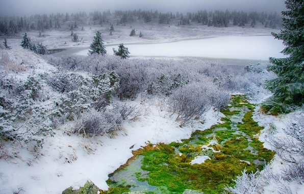 Picture winter, greens, field, grass, snow, green, tree, moss, spruce, grass, forest, the bushes, field, nature, …