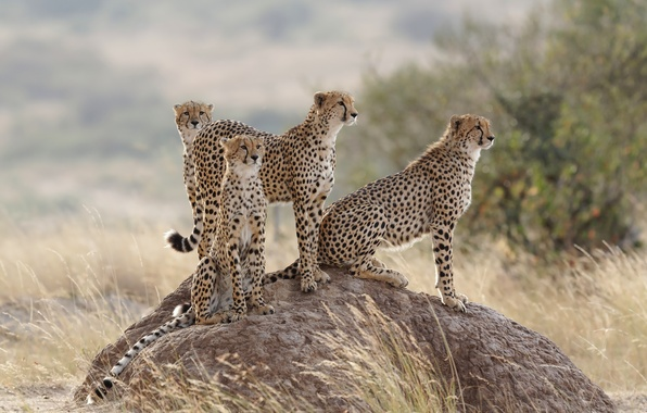 Picture grass, cats, family, hill, family, cheetahs