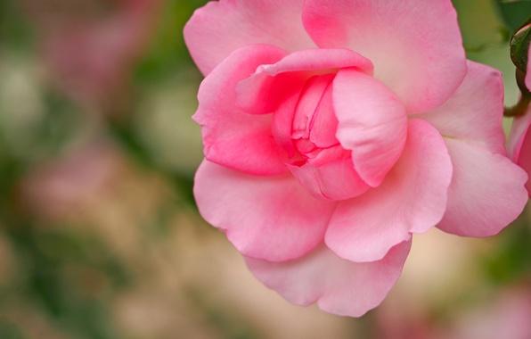 Picture macro, pink, rose, petals, Bud, bokeh