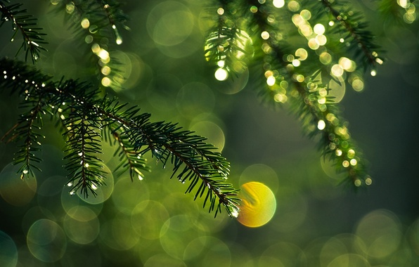 Picture drops, macro, light, needles, branches, glare, color, spruce, branch, green