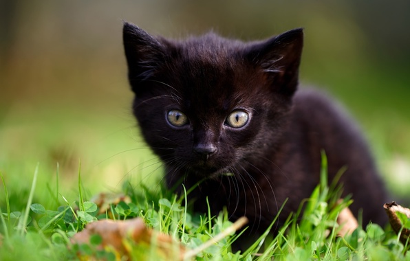 Picture grass, look, baby, muzzle, kitty, black kitten
