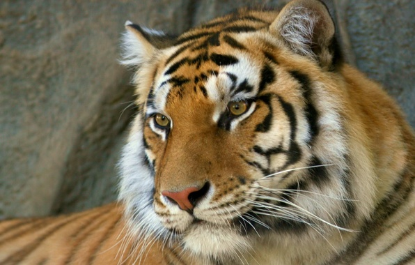 Picture predator, Tiger, Bengal