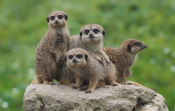 Picture background, stone, meerkats, Quartet