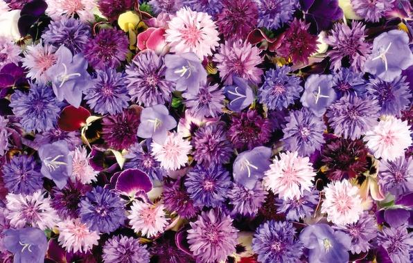 Picture bells, flower carpet, cornflowers, violet