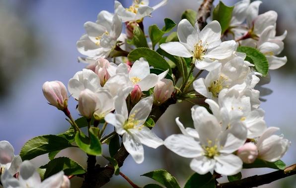 Picture macro, branch, spring, Apple, flowering, flowers
