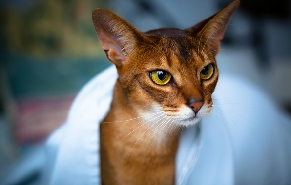Picture cat, eyes, look, towel, Cat, muzzle, ears