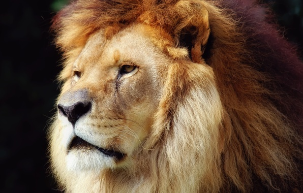 Picture Leo, mane, the king of beasts