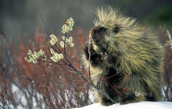 Picture winter, snow, plant, wool, North American porcupine