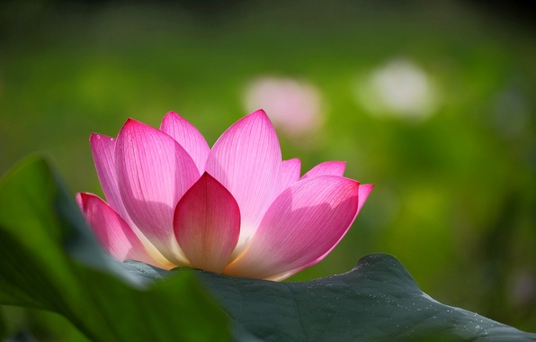 Picture flower, leaves, background, pink, petals, blur, Lotus, green