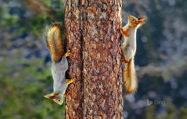 Picture tree, tail, trunk, fur, Finland, Eurasian red squirrel