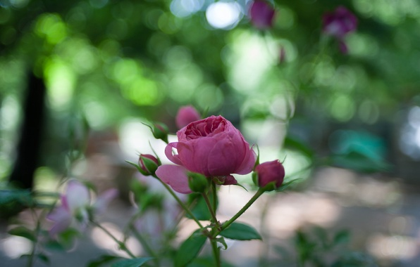 Picture greens, flower, leaves, macro, nature, glare, pink, rose, petals, blur, stem, Bud, bokeh