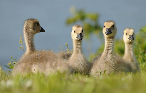 Picture Chicks, geese, the goslings
