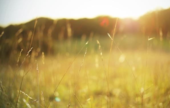 Picture field, summer, grass, the sun, macro, light, nature, heat, color, plants, spikelets, grass