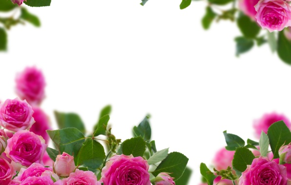 Picture photo, Flowers, Pink, Roses, Closeup