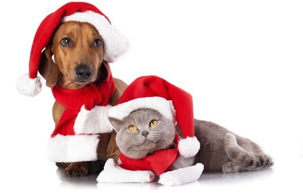 Picture cat, dog, caps, scarves