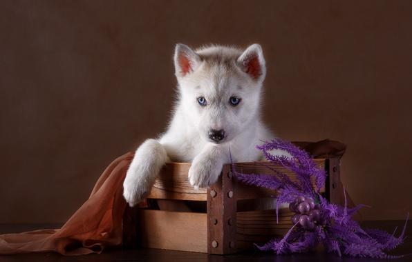 Picture puppy, fabric, box, husky, decor