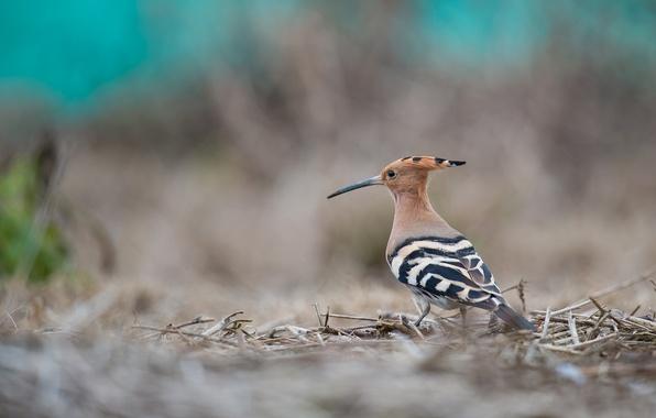 Picture background, bird, beak, hoopoe, crest
