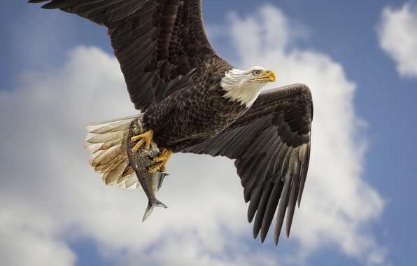 Picture the sky, bird, wings, fish, predator, flight, mining, Bald eagle, catch