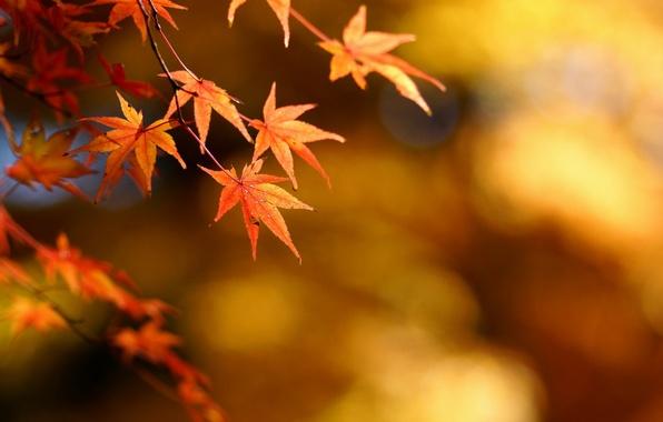 Picture autumn, leaves, focus, maple