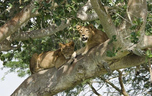 Picture tree, stay, predator, Leo, pair, lions