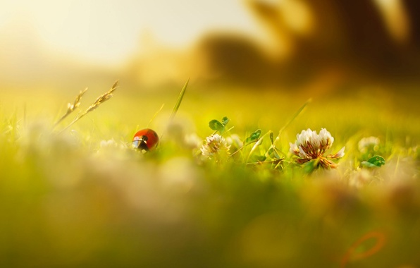 Picture greens, summer, grass, macro, flowers, insects, background, Wallpaper, ladybug, blur, spring, morning, day, wallpaper, flowers, …