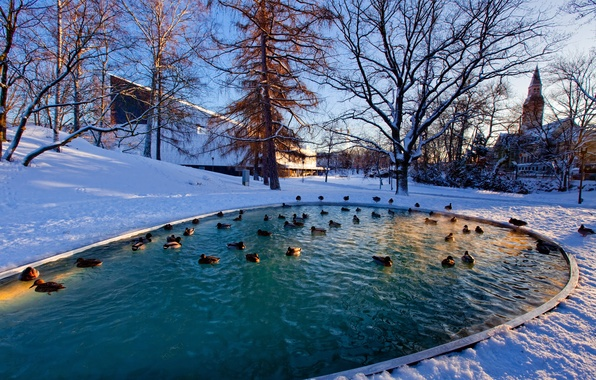Picture winter, duck, forest, winter, pond