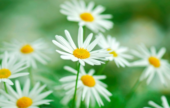 Picture greens, flower, flowers, background, widescreen, Wallpaper, vegetation, blur, Daisy, wallpaper, flowers, widescreen, flowers, background, macro, …