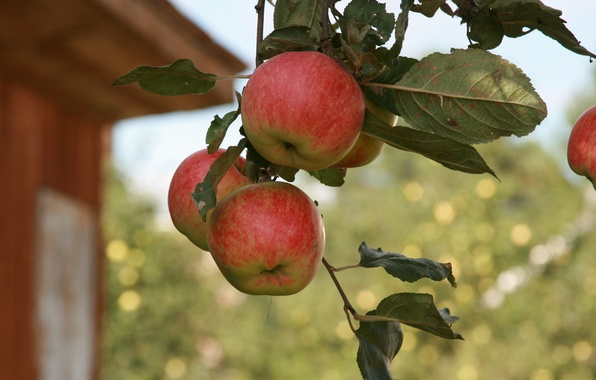 Picture summer, macro, nature, background, Wallpaper, apples, branch, garden, village, fruit, Apple