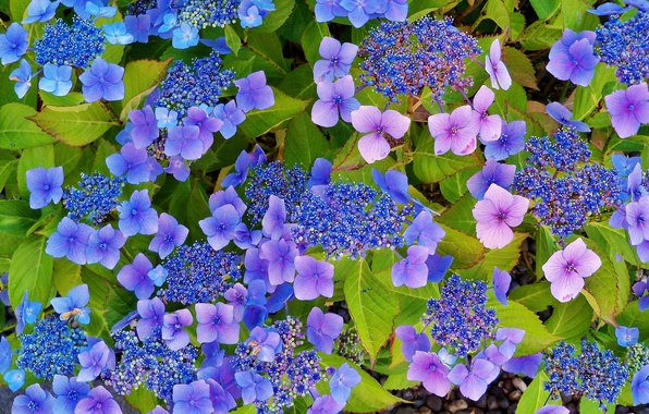 Picture leaves, inflorescence, hydrangea