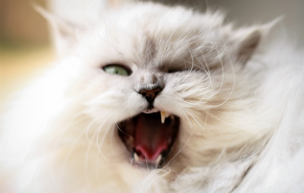 Picture cat, cat, white, fluffy