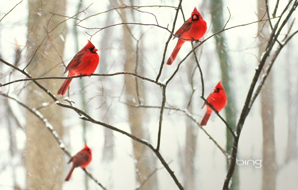 Picture winter, forest, snow, birds, Park, tree, Wallpaper, branch, cardinal