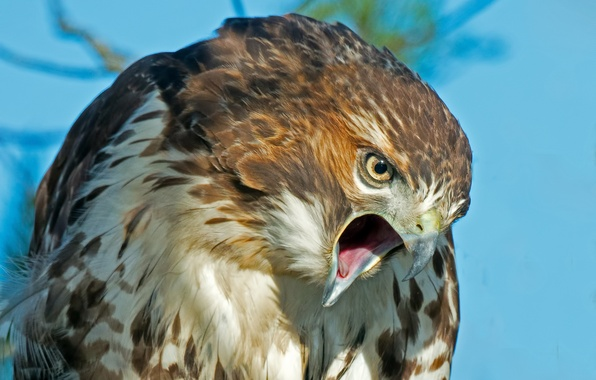 Picture look, bird, predator, feathers, beak, hawk