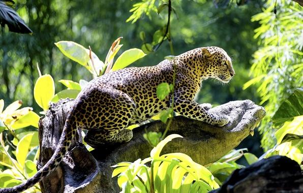 Picture predator, leopard, snag, wild cat, handsome