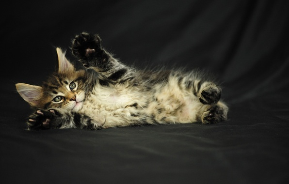 Picture kitty, grey, fluffy, Cat, Maine Coon