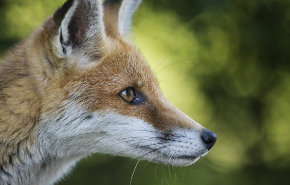 Picture animal, red, muzzle, Fox, ears, Fox