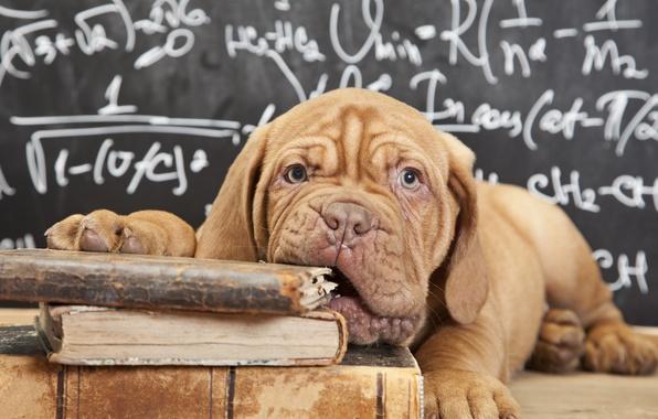 Picture look, face, books, dog, puppy, Board, formula, Dogue de Bordeaux