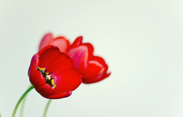 Picture white, macro, flowers, red, background, widescreen, Wallpaper, black, Mac, wallpaper, widescreen, background, full screen, HD …