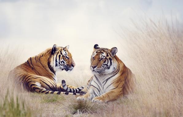 Picture grass, predators, tigers, lie, bokeh, rest