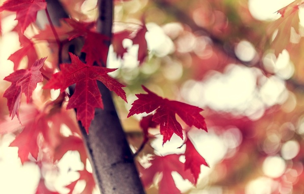 Picture autumn, leaves, macro, nature, tree, branch, bokeh, Burgundy