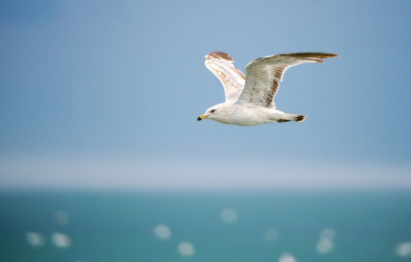 Picture sea, the sky, flight, wings, Seagull, horizon